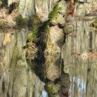 spiegel_wassergrasbaum
