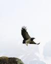 kordillierenadler-beim-abfliegen