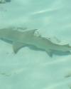 harmloser-sandhai-vor-reehti-beach